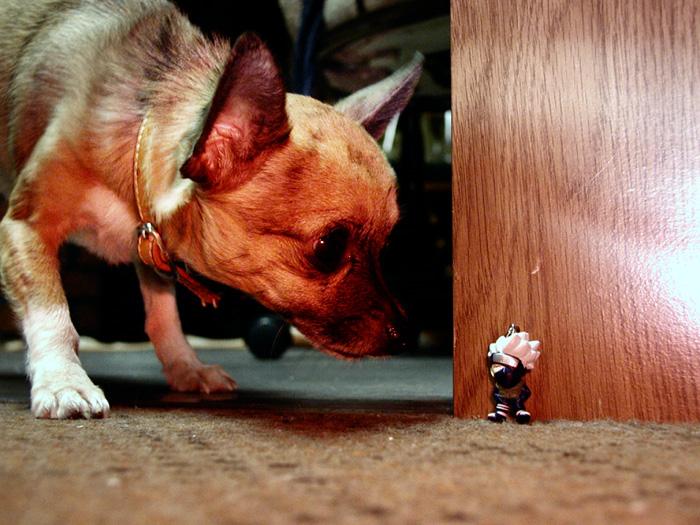 Pequeño perro chihuahua oliendo un pequeño juguete