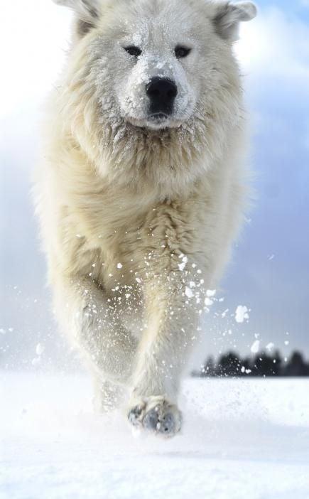 Perro blanco caminando por la nieve