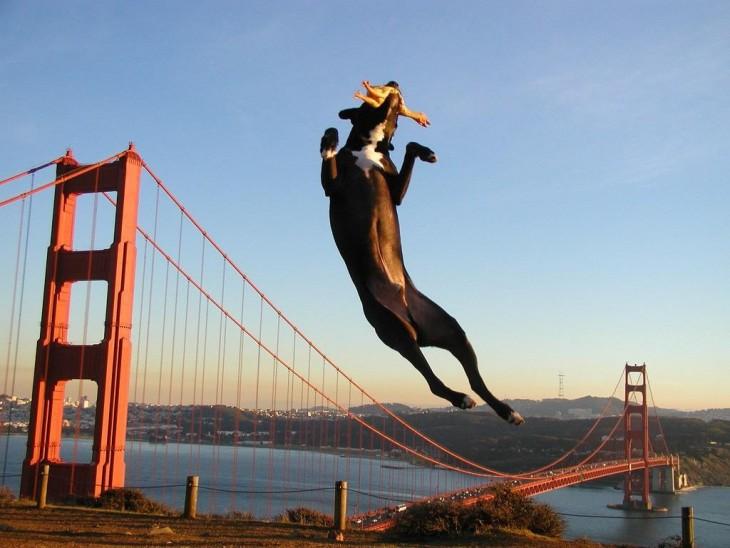 perro con algo en el hocico saltando sobre un puente