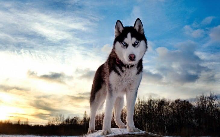 Perro Husky sobre la tierra en un bosque