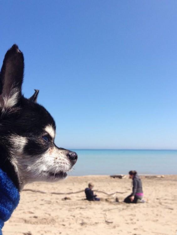 Cara de un perro chihuahua frente a una playa con una mujer y un niño