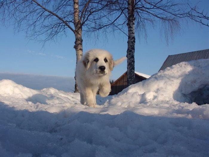 Perro de color blanco caminando sobre la nieve
