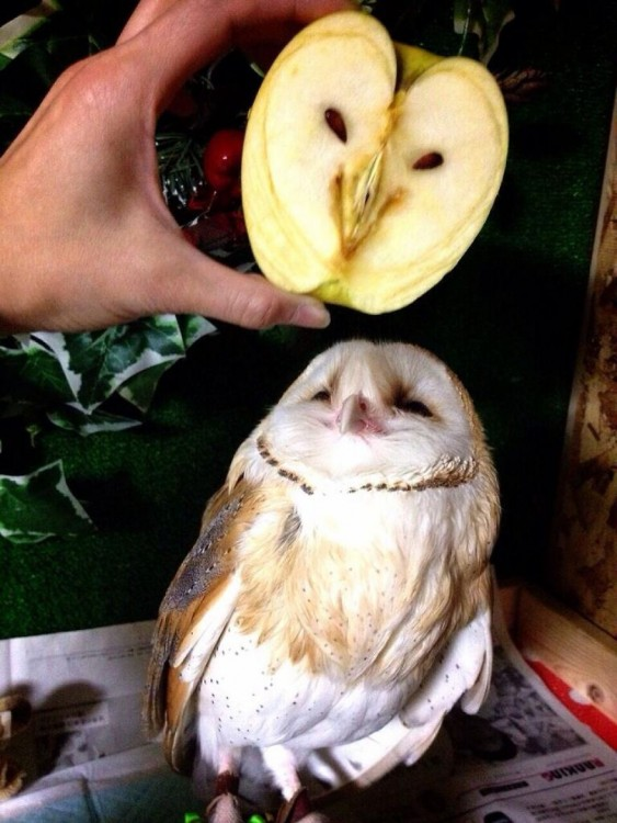 Manzana con forma de cara de lechuza junto a una lechuza
