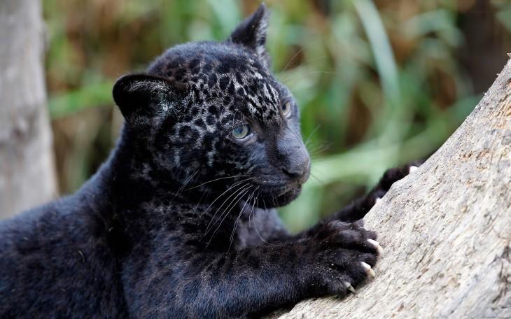 jaguar pantera americana