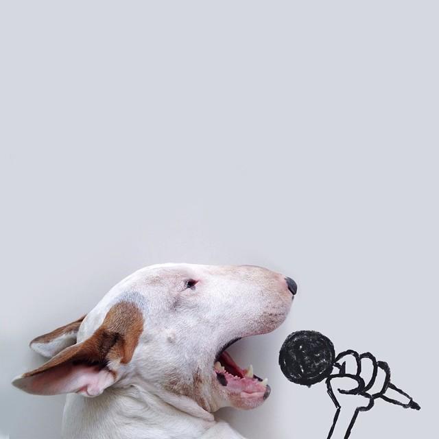 Perro bull terrier con un micrófono simulando que esta cantando