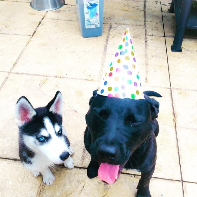 Perro husky a un costado de otro perro de color negro con un gorro de cumpleaños sentados en el piso f