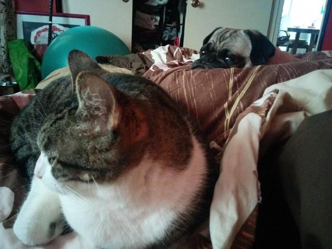 Fotografía de un gato acostado en una cama con un perro pug detrás