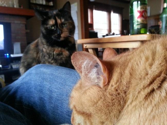 Gato observando a otro gato que esta recostado en las piernas de su amo