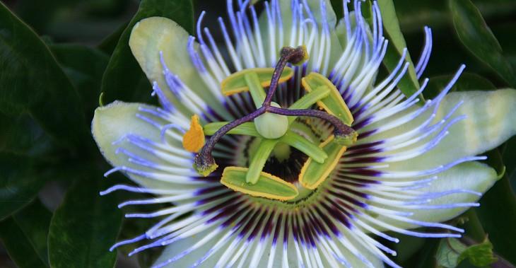 Flor tipica de paraguay mburucuyá o pasionaria