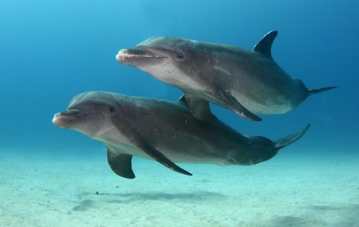 Delfines mulares en la Isla de Roatán, Honduras