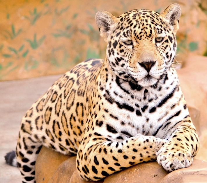 Jaguar en el zoológico de Honduras