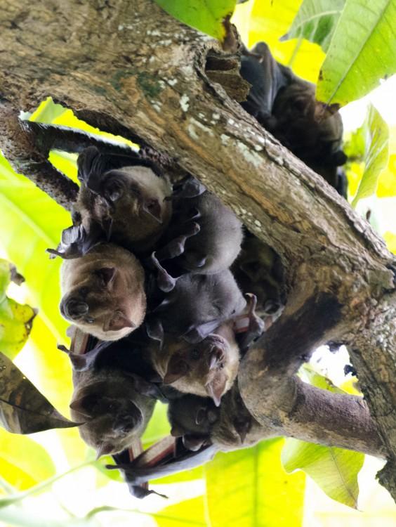 El murciélago frugívoro de Jamaica