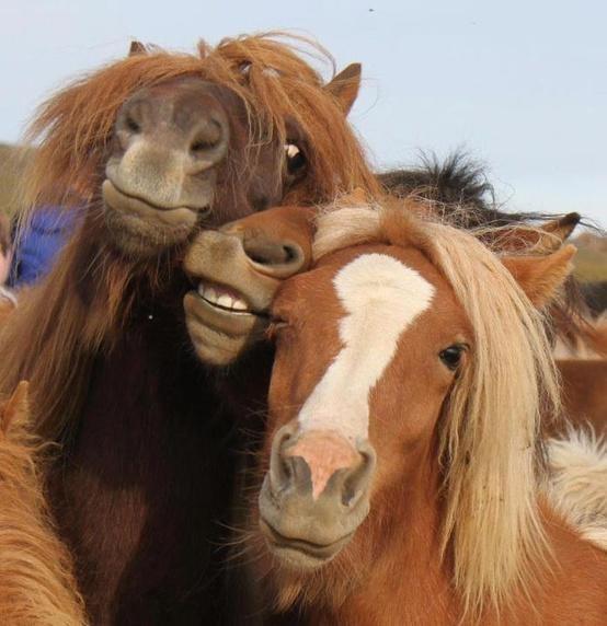 Cabezas de tres caballos que pareciera se toman una selfie