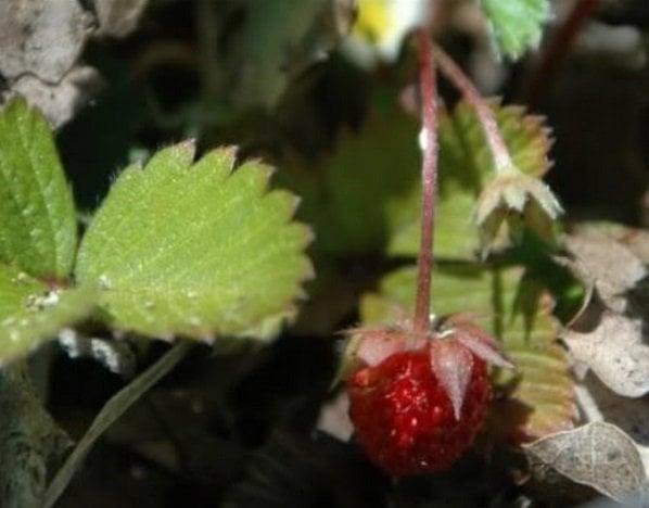 frambuesas como ejemplos de como eran las fresas