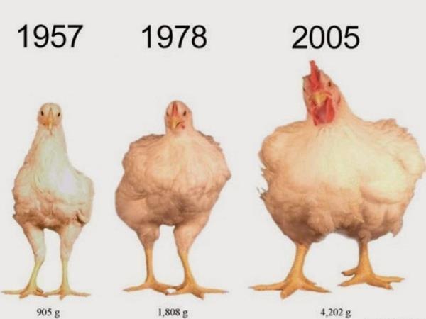 pollo alterado geneticamente por ciencia de la humanidad