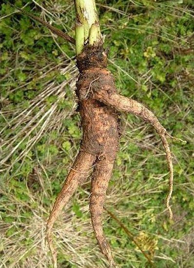 zanahoria sin mutación