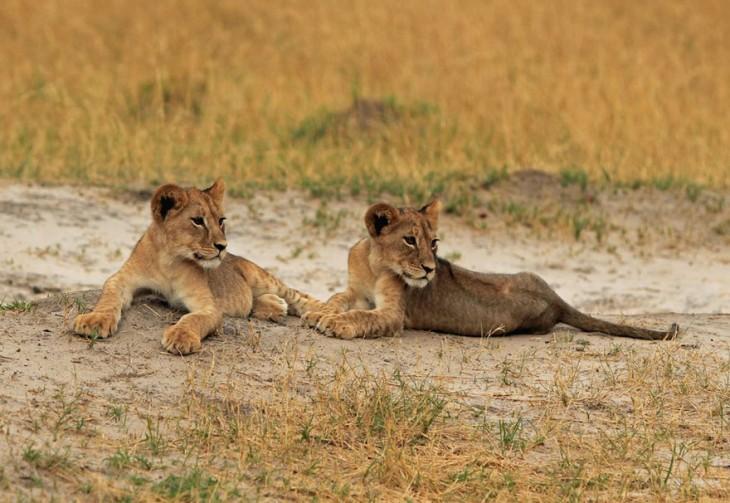 hijos de cecil van a se asesinados por otros leones para que no perdure su legado