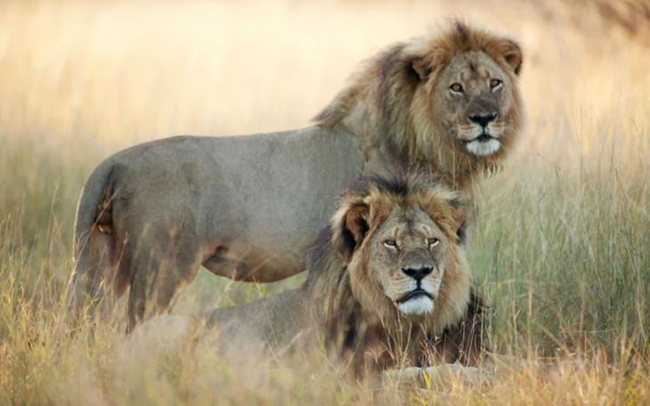 cecil junto a otro leon