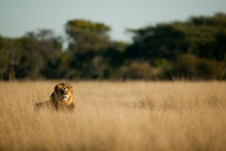 cecil el leon asesinado tomando el sol