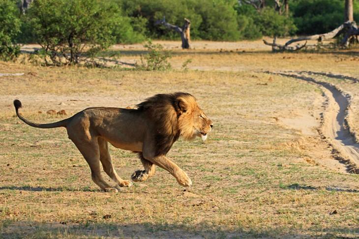 cecil el leon asesinado corriendo por la reserva ambiental para los leones