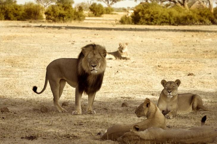 """me basé en la experiencia de mis guías profesionales locales para asegurar una caza legal ... Lamento profundamente que mi ejercicio de una actividad que me encanta y la práctica responsable y legalmente resultó en la toma de este león"""""""