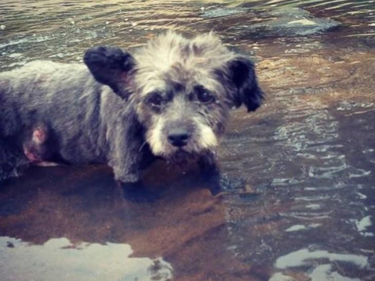 chester el perro con cancer terminal1