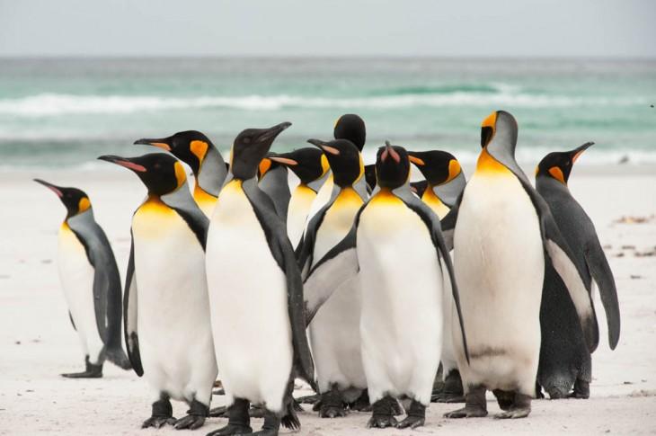 pinguino rey originario de la patagonia de chile