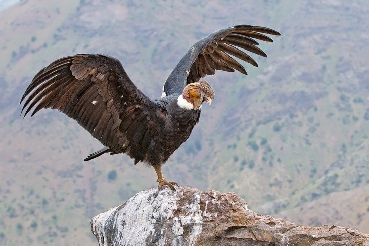 condor chileno o condor andino