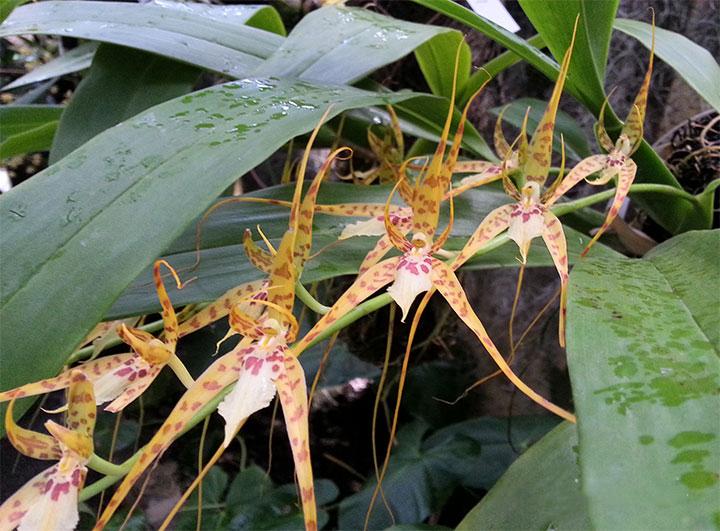 orquidea jirafita de cuba