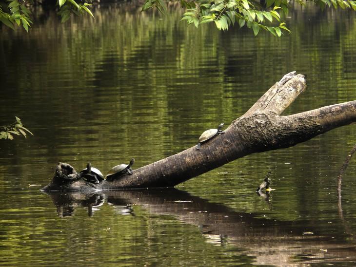 isla cubayeno. Tortugas amazónicas