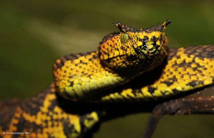 culebra barba amarilla con cachos