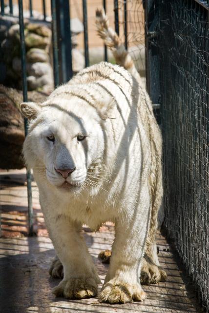 tigre siberiano incautado en la casa de los templarios