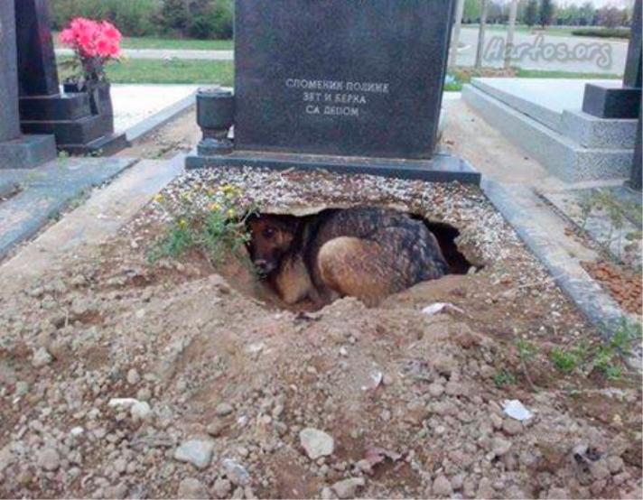 perrita pastor aleman que vivia en un cementerio