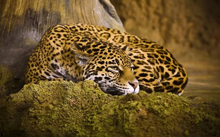 yaguarete o jaguar