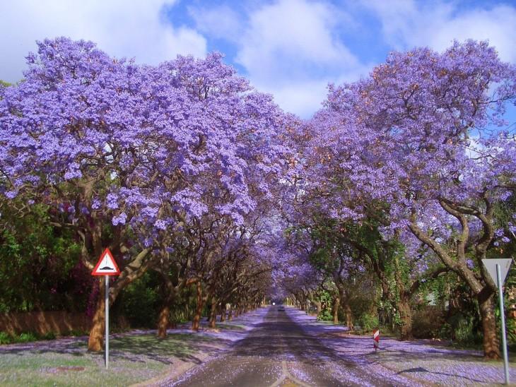 lapahos lilas en las calles