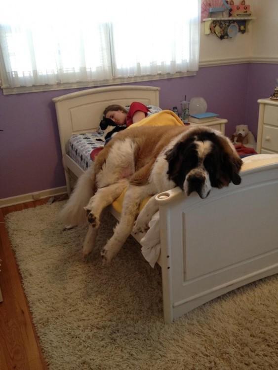 perro san bernardo dormido en una cama individual