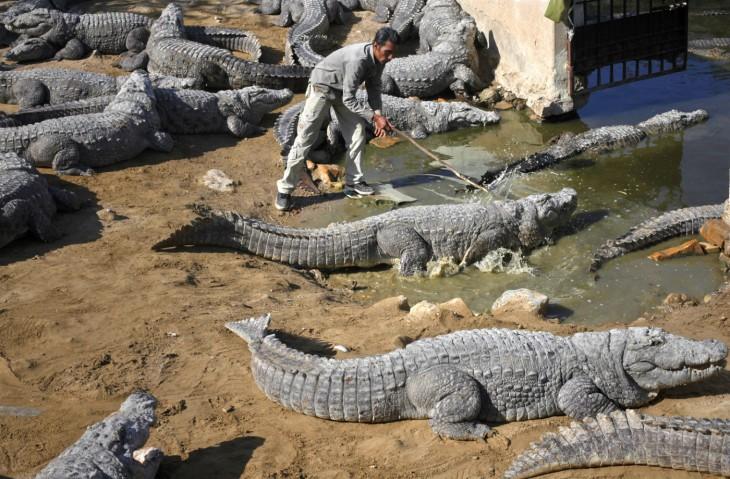 hombre picoteando a los cocodrilos