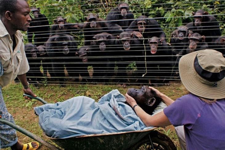 chimpance muere y sus amigos le hacen funeral