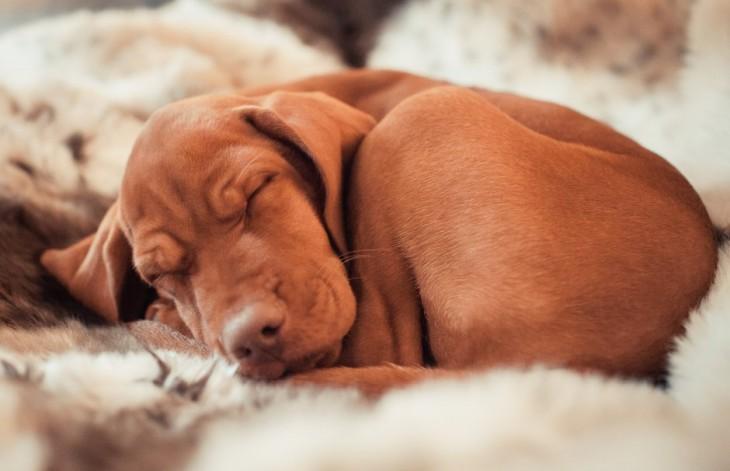 perrito vaselhound dormido