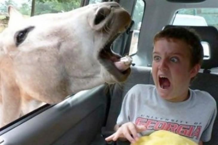 caballo asomando la cabeza al auto