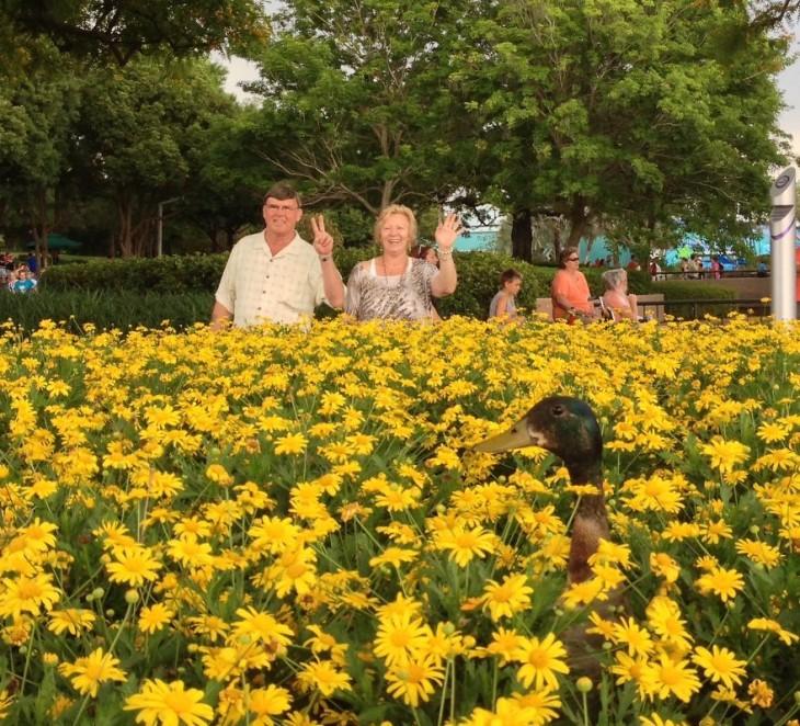 ganzo asomando la cabeza entre las flores amarillas