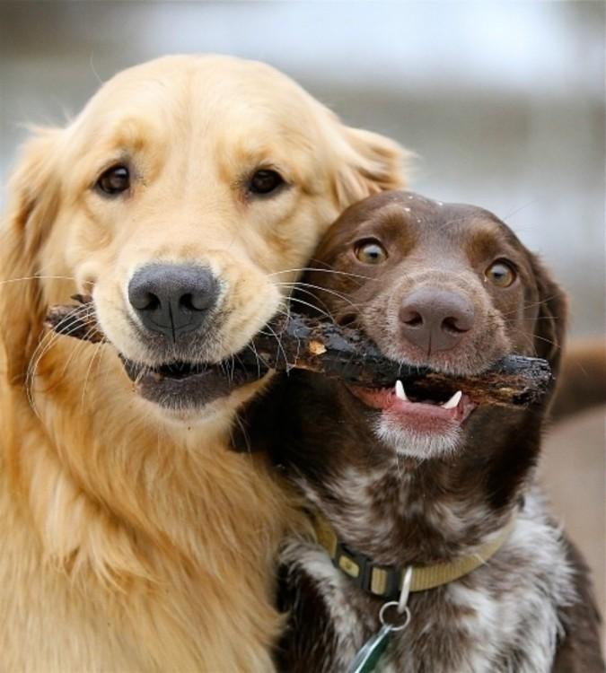 perros mordiendo un palo