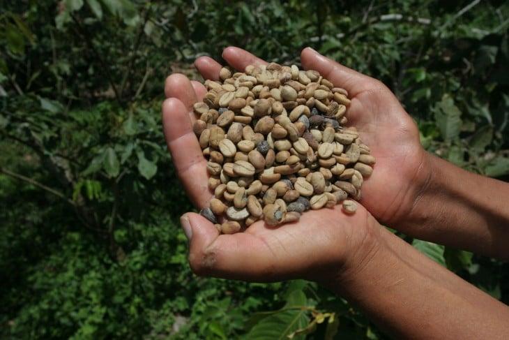 Manos de una persona con café orgánico en sus manos