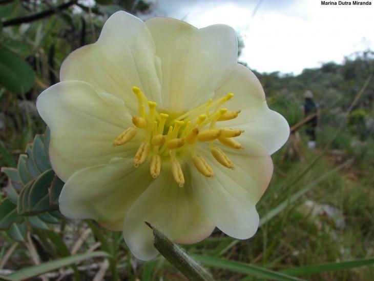Encontros pelo caminho es una flor típica de Brasil
