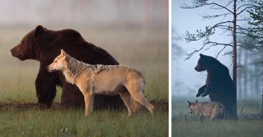 La amistad entre un oso y un lobo