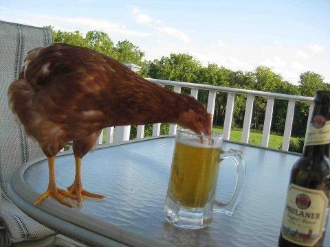 fotografía de una gallina tomando cerveza de un tarro