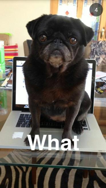 Perro pug sobre una laptop