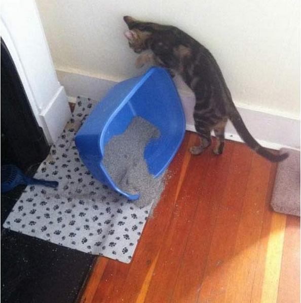 Gato tirando su caja de arena en el suelo