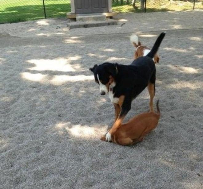 Perro metiendo la cabeza de otro perro en la arena