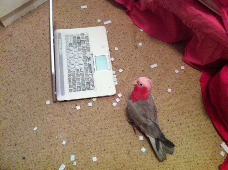 Cotorro junto a una laptop con las teclas fuera de lugar